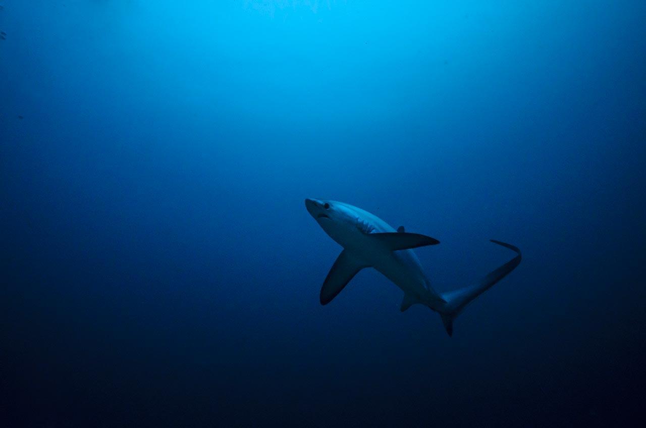Mergulho com tubarão azul (Prionace glauca) no mar azul do faial, nos Açores, com a empresa peter cafe sport